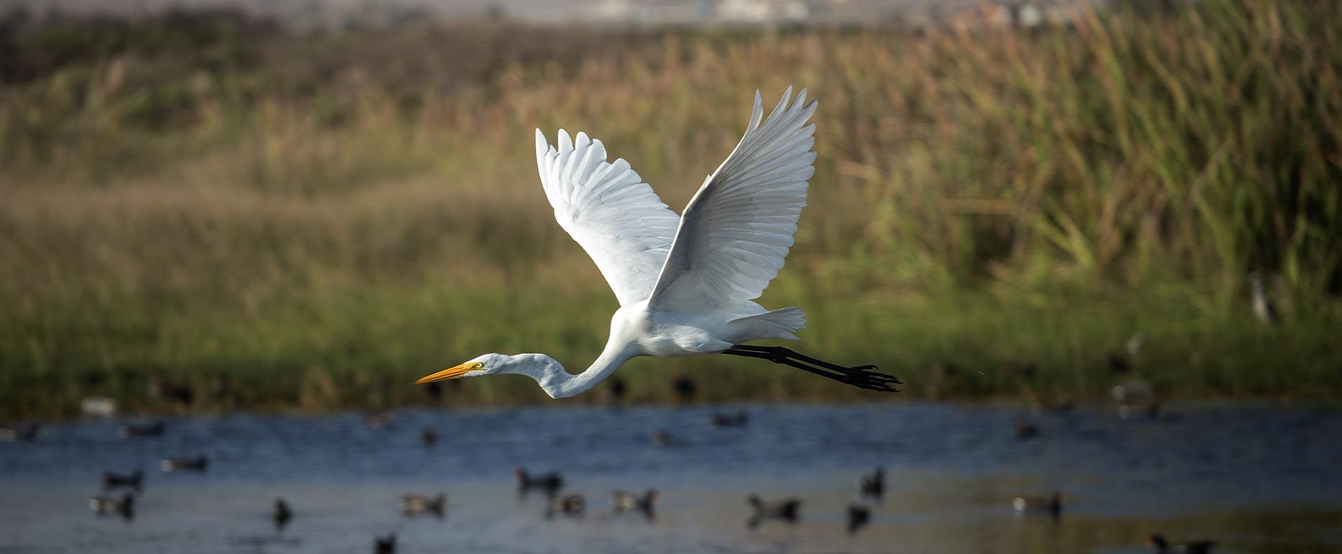 Humedal Rio LLuta Arica y Parinacota Ave en vuelo