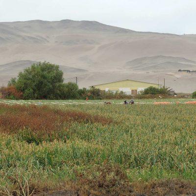 Cosecha cebollas sector Geoglifo La Rana