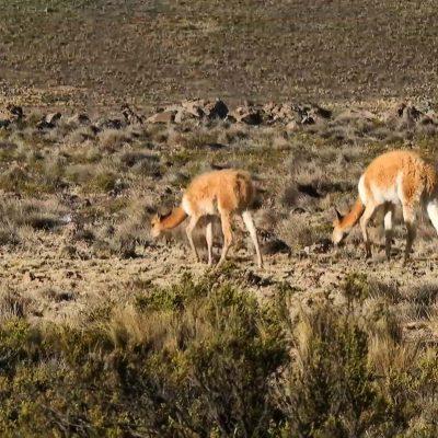 Reserva Nacional Las Vicuñas vicuñas pastando