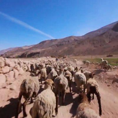 Traslado de ganado Valle de Camarones