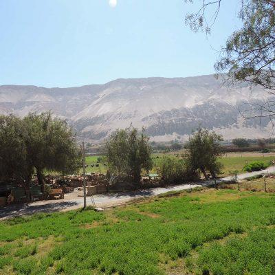 Vista Pueblo Molinos Valle de Lluta cultivos y grupo vacas